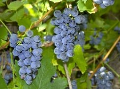 Виноград «Зилга» относится к универсальным сортам