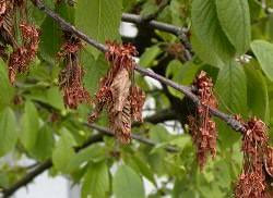 Существует ряд заболеваний, которым наиболее подвержены вишневые деревья