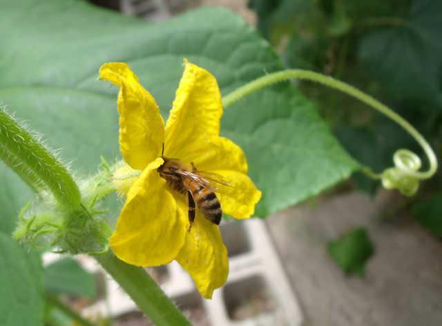 Огурец «Гектор f1» – раннеспелый пчелоопыляемый сорт