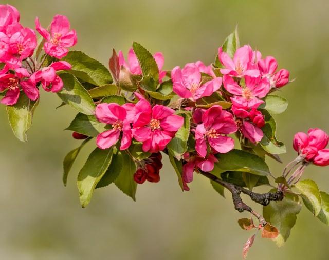 Райские яблоки популярны в последнее время из-за своего всегда нарядного вида