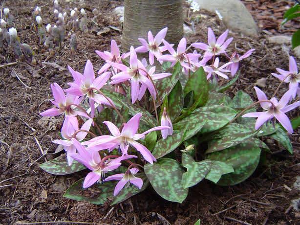 Растение высаживают в цветниках, группами на газоне, в рабатках, альпинарии, миксбордерах