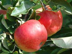 Разведение яблонь сорта «Свежесть» не доставляет садоводам значительных хлопот