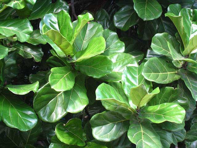 «Лирата Бамбино» (Ficus lyrata)