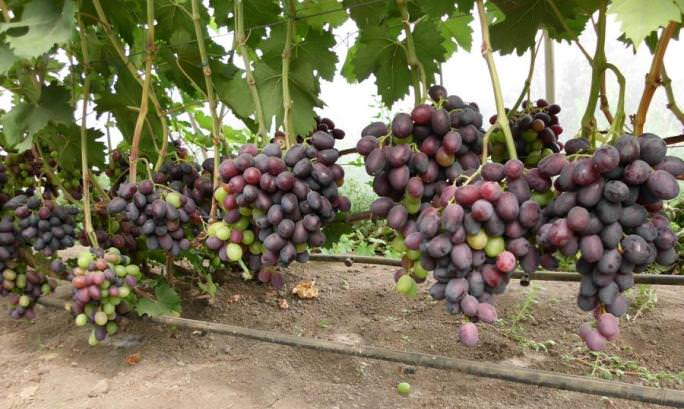 двухрядный карниз виноград фуршетный описание сорта фото скорее