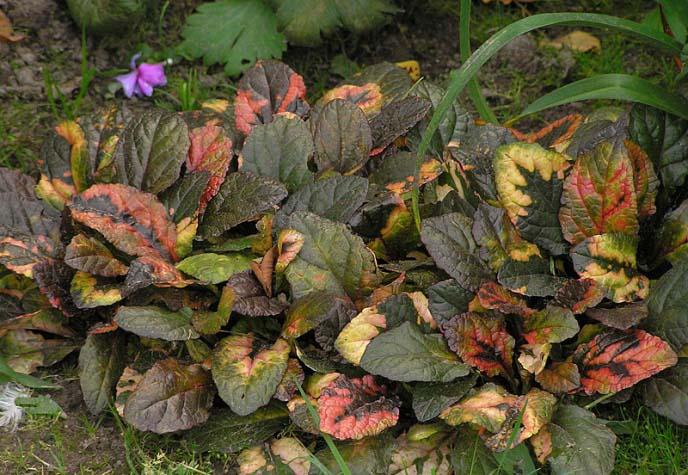 У Живучки Мультиколор листья не однотонной окраски, а пятнистые