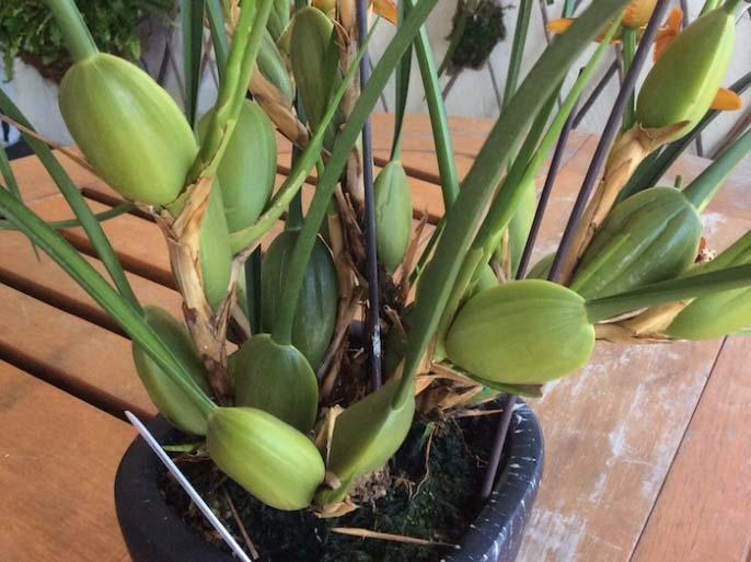 Псевдобульбы на орхидеях являются запасающими органами