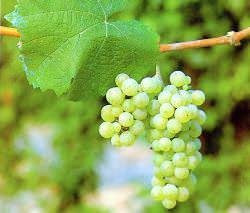 Виноград «Рислинг» принято считать европейским сортом