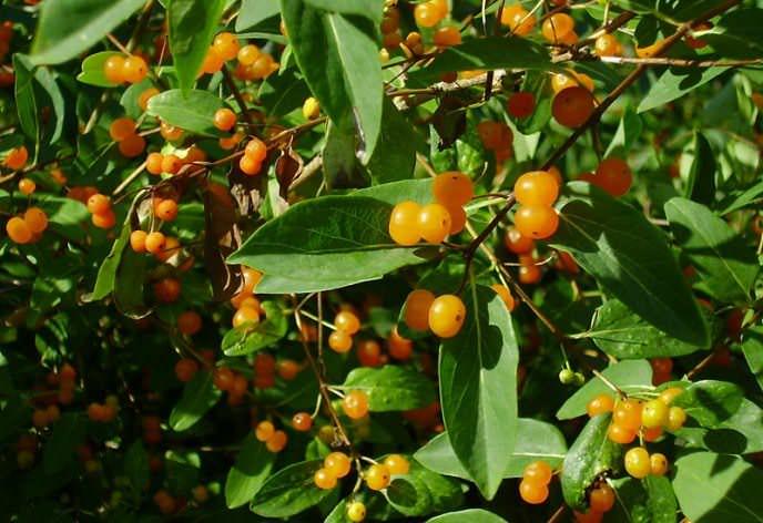Плоды жимолости по содержанию в них аскорбиновой кислоты не уступают клубнике и лимону