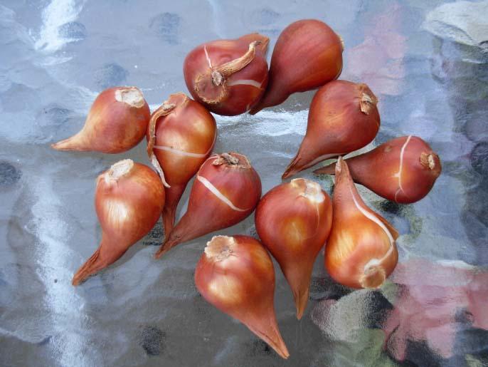 Мочковатая корневая система у тюльпанов состоит из отмирающих каждый год придаточных корней
