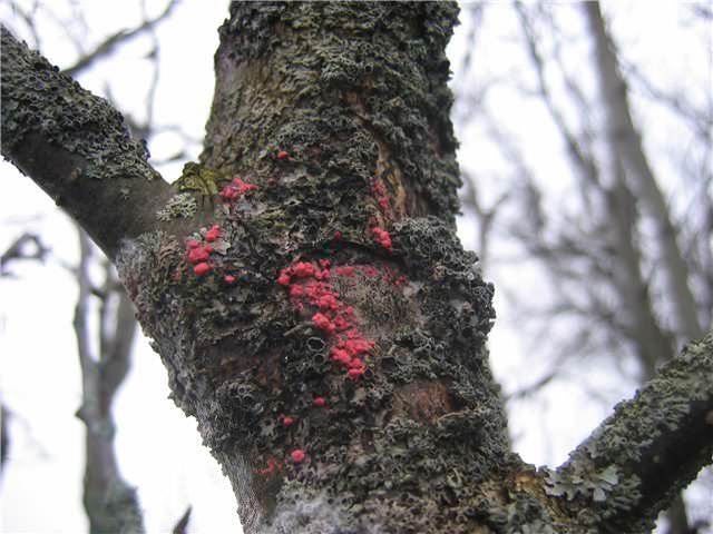 Цитоспороз яблонь – грибковое заболевание, которое поражает отдельные участки коры яблони