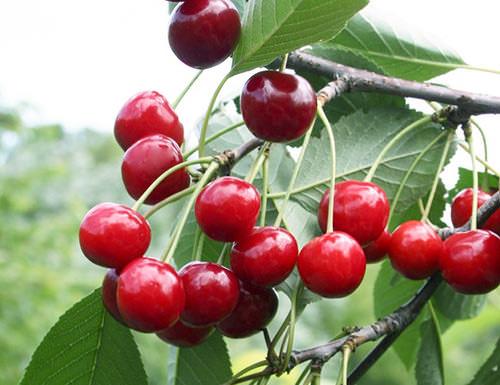 Вишня «Молодежная» – самоплодный и скороплодный сорт