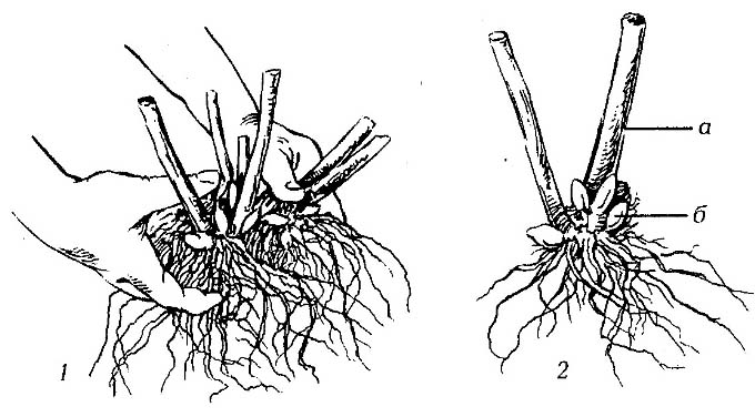 При посадке осенью у флокса часть стебля обрезается на 1/3 длины