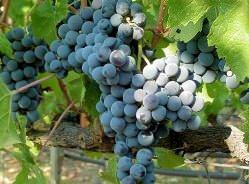 Виноград «Каберне Совиньон» очень популярен