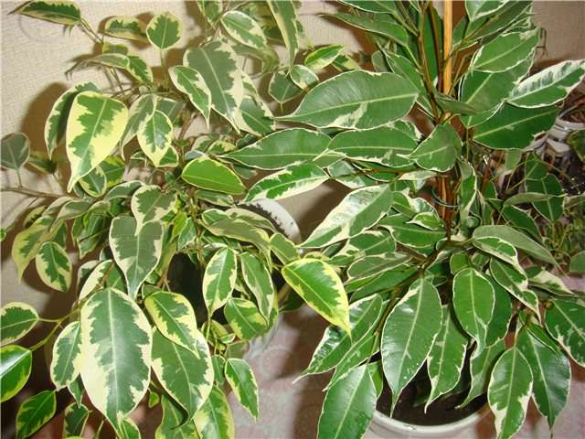 Ficus Samantha