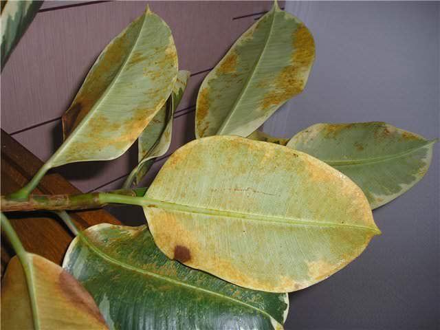 Грибковое поражение Ботритис характеризуется появлением желтой или ржавой пятнистости на листьях фикуса