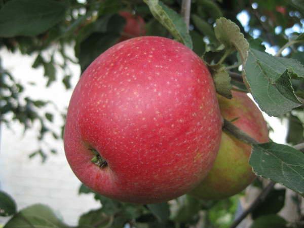 Яблоки «Пепин шафранный» имеют кисло-сладкий десертный вкус и пряный аромат