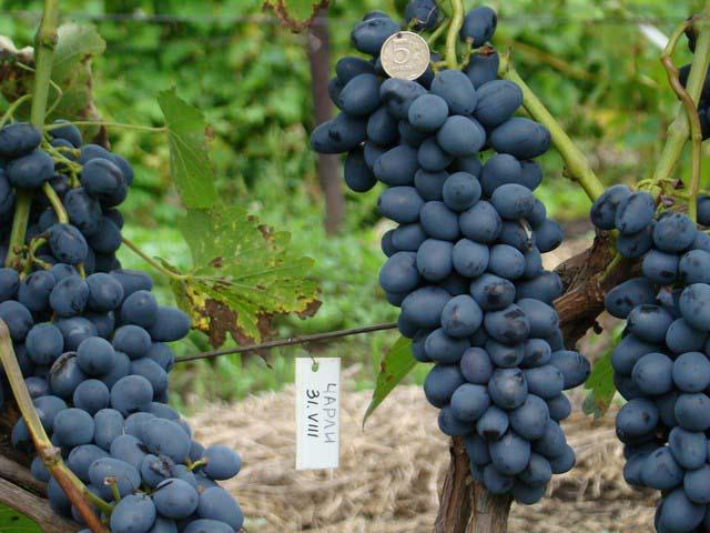Столовый гибридный вид винограда «Чарли» относится к категории наиболее ранних сортов