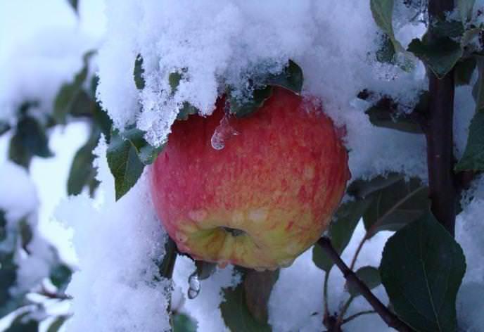 Стланцевое формирование позволяет выращивать яблони сорта «Краса Свердловска» в Сибири