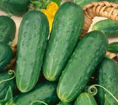 Огурец – всем известная овощная культура