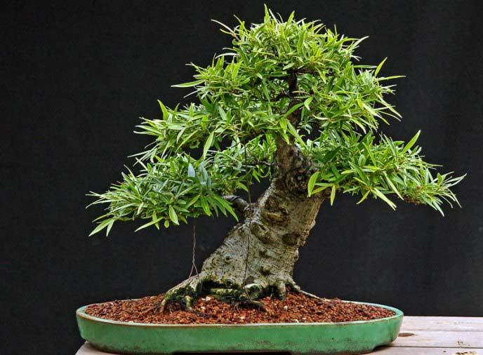 Наличие у цветовода некоторых дополнительных навыков позволяет выращивать фикус каучуконосный в виде дерева бонсай