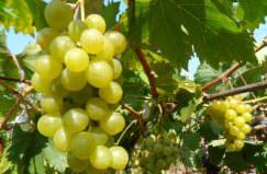 Виноград Красохиной С. И. пользуются успехом у виноградарей