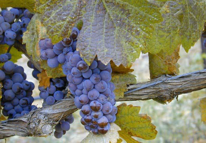 Ягоды винограда сорта «Пино Нуар» имеют среднюю величину