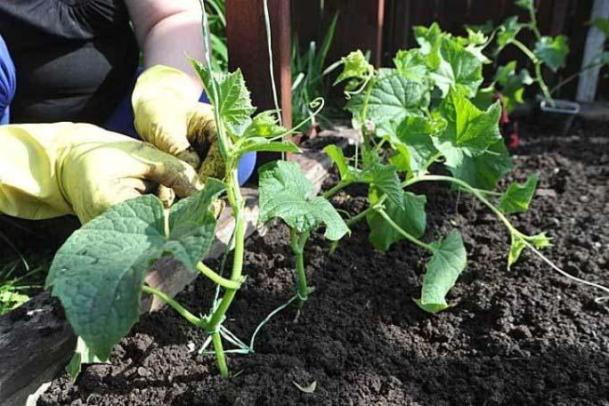 Для повышения урожайности сорта «Паратунка» необходимо удалять первые четыре завязи