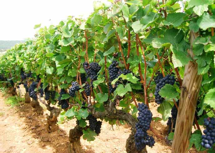 Виноград под названием «Пино Нуар» формирует средние по силе роста кусты