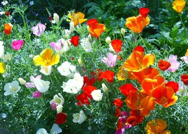 Растение относится к семейству маковых. Всего выделяется 12 видов цветка