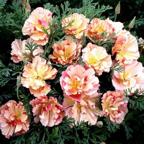 Благодаря стараниям селекционеров выведены растения, обладающие розовыми, карминными, белыми, кремовыми и цветками смешанного окраса