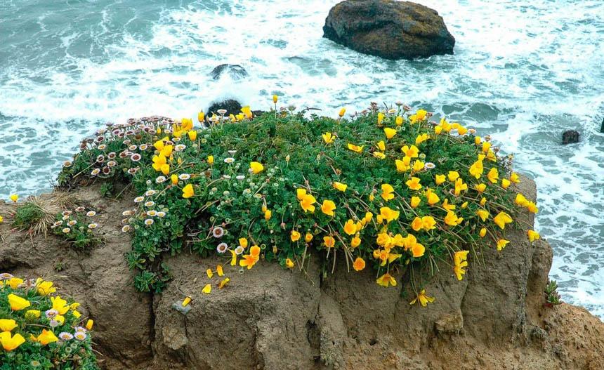 Эшшольция – удивительно красивое растение. Его цветки выглядят потрясающе