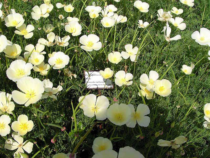 Взрослые растения могут достигать в высоту 60 см. Со временем кустарник займет всю клумбу
