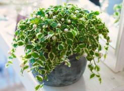 Фикус – неприхотливое растение