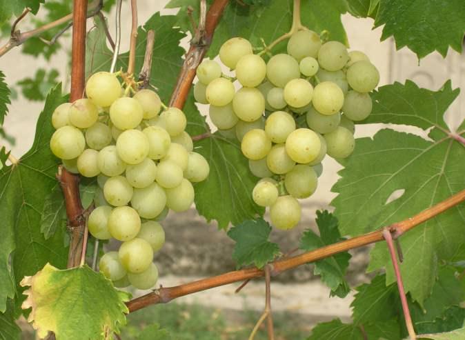 Виноградные кусты сорта «Золотинка» характеризуются сильным ростом