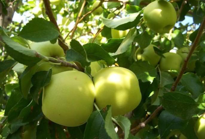 Молодые плодовые деревья «Голден Делишес» требуют бережного ухода