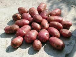 Картофель «Альвара» вполне оправданно является одним из лучших сортов