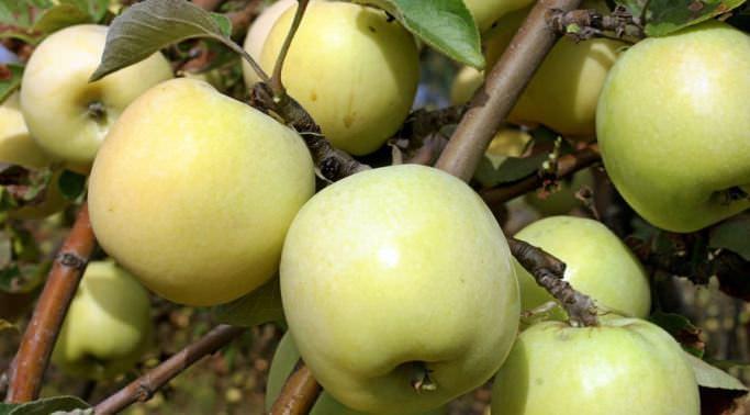 «Антоновка» – сорт яблонь с поздним сроком созревания
