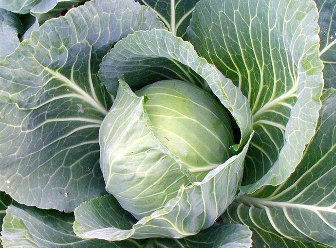Капуста гибридной формы «Айсберг» является позднеспелой овощной культурой