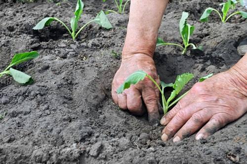 Высаживается капуста «Валентина f1» в открытый грунт после появления на рассаде четырех основных листиков