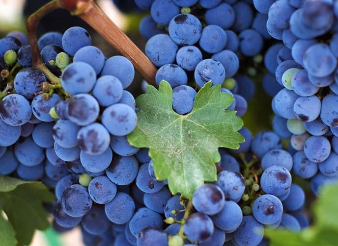 Спелые ягоды сорта «Изабелла» содержат слишком много углеводов при недостаточно высокой калорийности