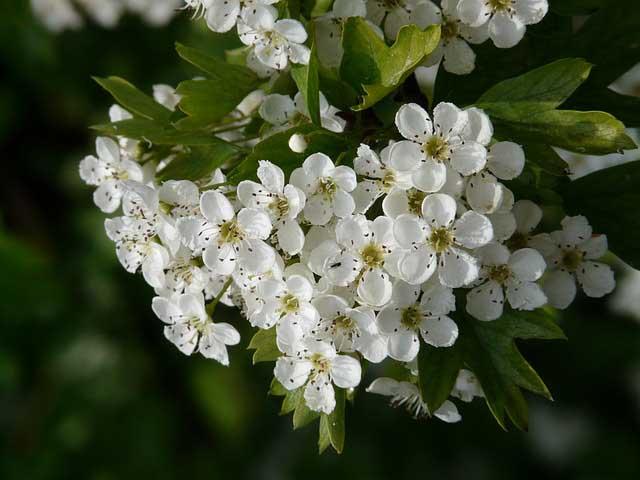 Для успешного плодоношения цветкам груши требуются опылители