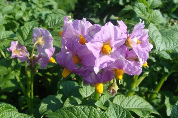 Сорт «Лорх» имеет хорошую устойчивость к вирусным болезням, фитофторозу, бактериозам