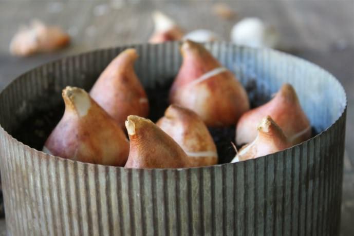 В одну посадочную ёмкость можно высаживать тюльпаны одного сорта