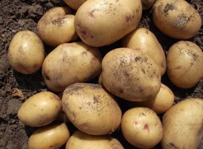 Картофель «Великан» имеет хорошее качество клубней при длительном хранении