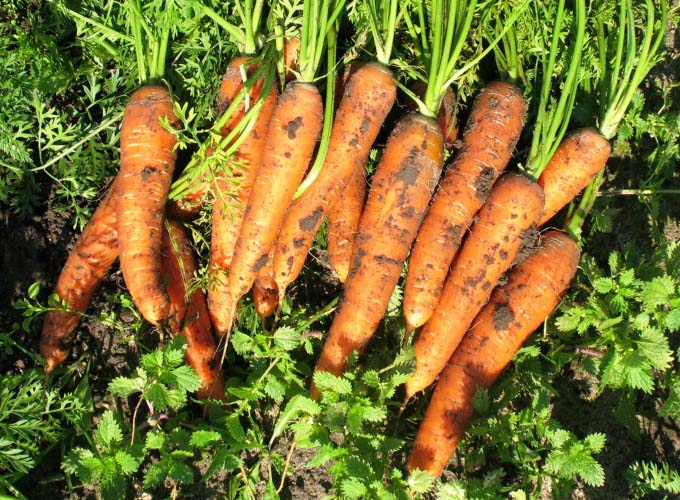 Уборку моркови «Нантская» следует закончить не позднее третьей декады сентября
