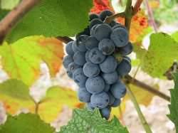 Виноград «Таежный» – очень урожайный сорт
