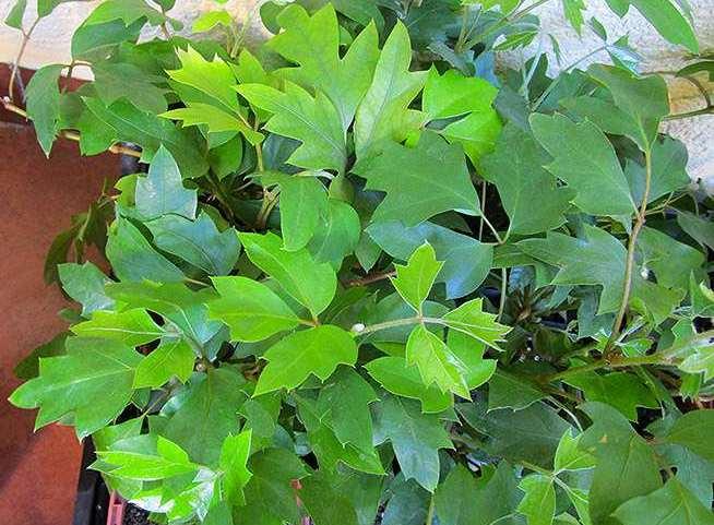 Циссусы относятся к числу популярных комнатных растений