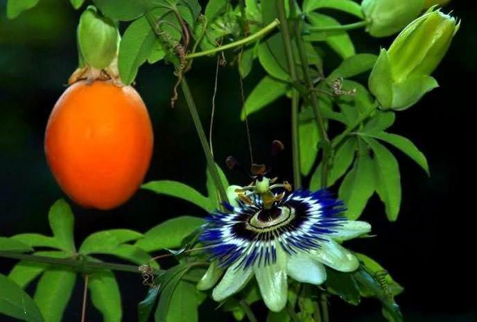 Пассифлора голубая представляет вечнозеленую лиану