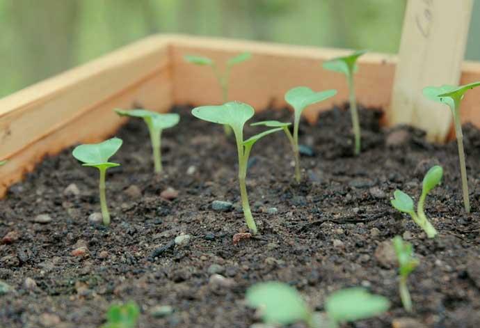 Капусту сорта «Золотой гектар» можно выращивать рассадным способом