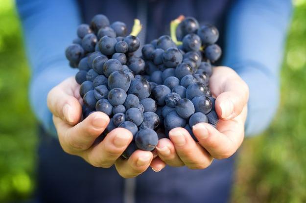Сорт «Таежный» обладает достаточной устойчивостью к основным виноградным болезням